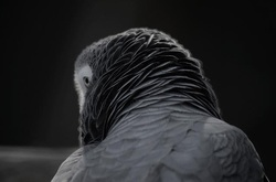 Sick Parrots - The world of African Greys