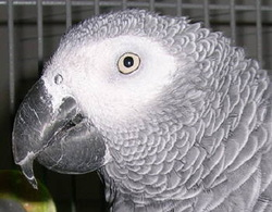Health - The world of African Greys
